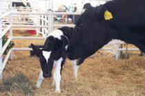 Propuestas para el Control de Abortos en Vacas Lecheras Causados por el Virus de BVD y Neospora caninum