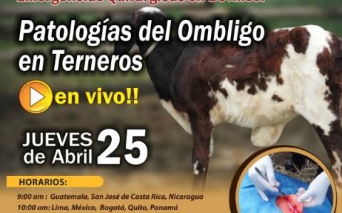 EN VIVO Patologias del Ombligo en Terneros