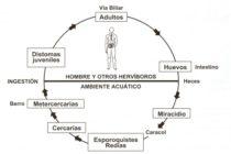 Fasciolosis Humana