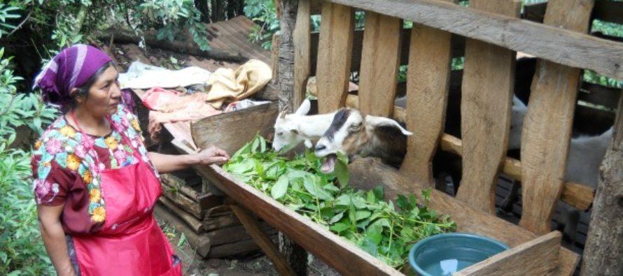 Ceprocal: Cabras Lecheras Contribuyendo a la Seguridad Alimentaria en Guatemala