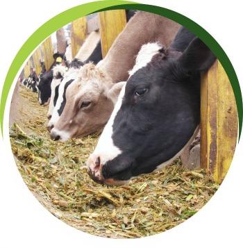 Vacas_Establos