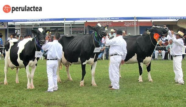 Holstein_Peru