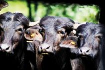 Una Experiencia Empresarial sobre Crianza de Búfalos en Argentina