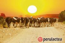 Impacto del Estrés de Calor en la Eficiencia Reproductiva de las Vacas Repetidoras