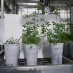 Bacterias Contribuyen a la Producción de Alfalfa en Suelos Ácidos
