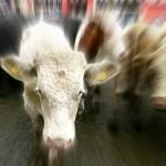 """Reportan Caso Clínico del """"Mal de las Vacas Locas"""" en Irlanda"""