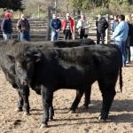 En Chile Mejoran Animales de Pequeños Ganaderos con Toros Angus