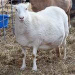 Toxemia de la Gestación en el Ganado Ovino