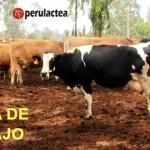 Importante Establo Lechero de Lima Busca Nuevo Administrador