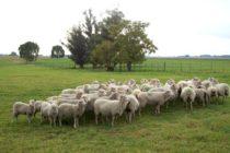Uruguay Apuesta por el Resurgimiento de su Producción de Ovinos