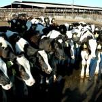 Suplemento Alimenticio para Vacas Reduce Emisiones de Metano