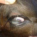 Ojos Blancos por Septicemia Neonatal en Terneros