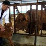 Primera Vaca Clonada de China Parió una Ternera