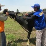 Frente a Brote de Ántrax Senasa Vacunará 500 Animales en Piura