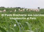 El Pasto Brachiaria
