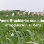 El Pasto Brachiaria: Sus híbridos e Introducción al Perú – Segunda Parte