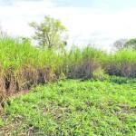 """Experiencias con el """"Pasto Elefante Enano"""" en Paraguay"""