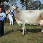 """Universidad Nacional Agraria La Molina tiene las """"Vacas Vitalicias"""""""