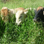 El Pasto Brachiaria: Sus híbridos e Introducción al Perú – Tercera Parte