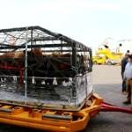 Chile Realiza Primera Exportación de Toros Angus al Paraguay