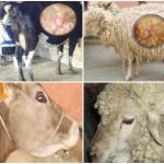 Libro Digital: Paramphistomosis en Bovinos y Ovinos en Cajamarca