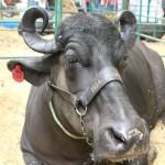 La Calidad Genética de los Búfalos Colombianos podrá llegar a Perú