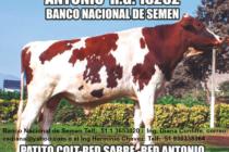 Un Toro Holstein Rojo de Excelente Genética en el Perú – ANTONIO RG:15262 (Venta de Semen)