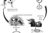 Neosporosis: La Mayor Causa de Abortos en Vacas al Final de la Gestación