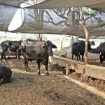 Colombia: Programa de Entrega de Suplemento Alimenticio a Ganaderos ante el Fenómeno El Niño