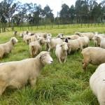 Colombia brinda Facilidades a sus Productores de Ovinos y Caprinos para Importación de Genética