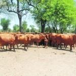 Una Experiencia de Manejo de Vacas Donadoras en Razas Cárnicas