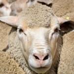 Dohne Merino: Genética Ovina para la Producción de Carne