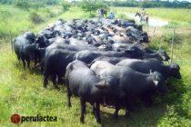Orgánicos del Trópico: La Propuesta Empresarial del Búfalo en México