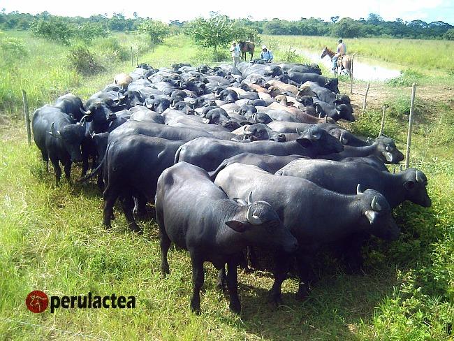 bufalos_mexico_08
