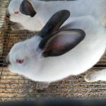 Beneficios y Bondades de la Carne de Conejo