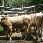 Cruzamiento Brahman con Razas Europeas para Incrementar la Productividad de la Carne