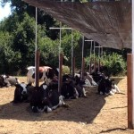 Chile Avanza en el Conocimiento del Estrés Calórico en Vacas Lecheras