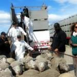 Chile Exporta 1300 Ovinos a Ecuador