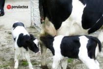 Parto Gemelar en Vaca Lechera: ¿celebramos o nos preocupamos?