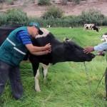 Vacunan a 2,500 Bovinos contra el Ántrax en Moquegua