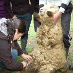 Gobierno Regional de Huancavelica Brindó Asistencia a Productores de Ovinos y Vacunos
