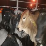 Colombia Exportó 14,000 Bovinos a Medio Oriente