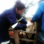 Extensionismo Veterinario: Programa Atenderá a más de 1,400 Cabezas de Ganado en Chile