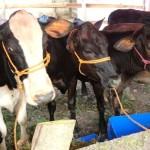 Desarrollan Proyecto para Producir Terneros de Calidad en Nicaragua