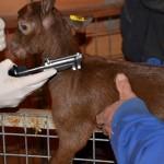 Vacuna contra la Tuberculosis BCG es segura para usarla en Cabras