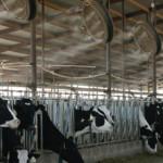 Eficiencia para Enfriar Vacas Lecheras: ¿Flujo Alto o Flujo Bajo de Agua?