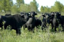Búfalos en Argentina: Negocio en Expansión