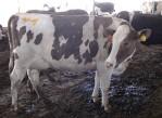 tres_ordeños_diarios_vacas