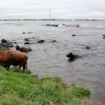 Manejo Sanitario del Ganado cuando hay Inundaciones