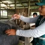 Senasa Vacunó Búfalos y Bovinos contra Rabia en Loreto